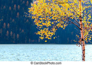 Yellow autumn tree with leaves near the lake and forest in background
