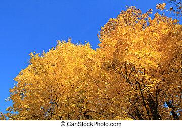 Yellow autumn trees on blue sky background