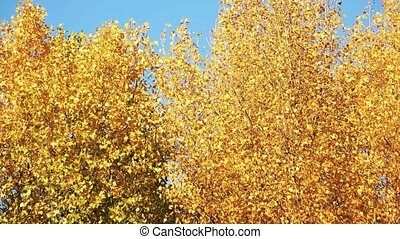 Yellow autunmn trees.