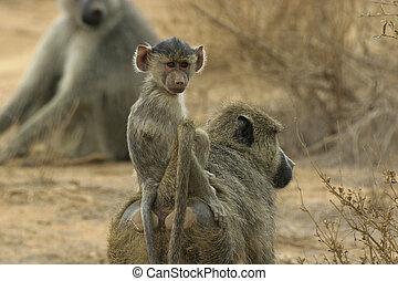 baboon infant