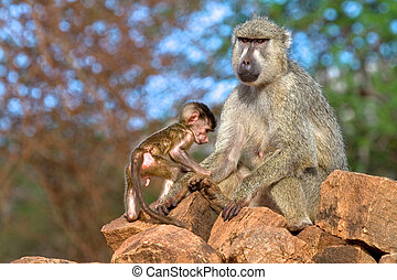 Yellow baboon mother and infant