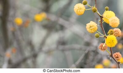 Yellow balls of acacia