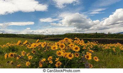 Yellow Balsamroot Wildflowers 1080p - Yellow Balsamroot...