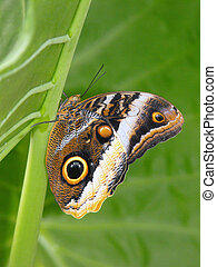 Yellow banded Owl Butterfly