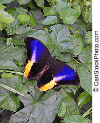 Yellow Banded Owl Butterfly - Yellow Banded Owl (Caoligo ...