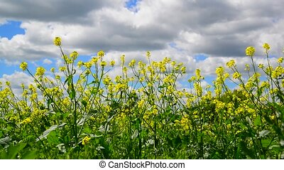 Yellow Barbarea vulgaris close-up against sky