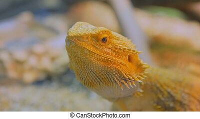 Yellow barded dragon lizard at zoo - Close up shot of a...