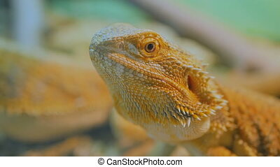 Yellow barded dragon lizard at zoo