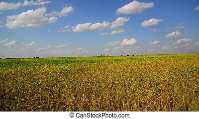 Yellow bean field on sunny day - Yellow bean field on a...