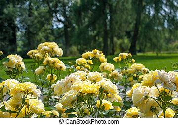 Yellow beautiful roses