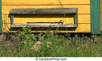 Yellow beehive with bees, - Bees working in yellow beehive...