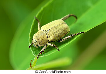 Yellow beetle on a green leaf.