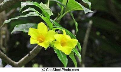 Yellow Bell (Allamanda cathartica) in wind