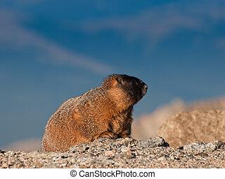 yellow-bellied, marmot