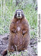 A curious marmot perches atop his burrow