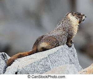 Yellow-bellied Marmot - Marmota flaviventris -...