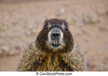 Yellow Bellied Marmot (whistle pig): Close Relative of the Woodchuck of the East and Midwest and the Largest of the Ground Squirrel Family. Taken in Colorado Springs, Colorado USA.