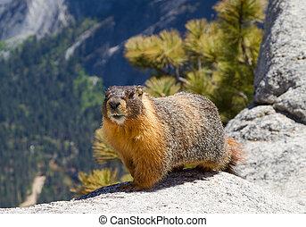 Yellow bellied marmot walking along the ridge in Yosemite National Park