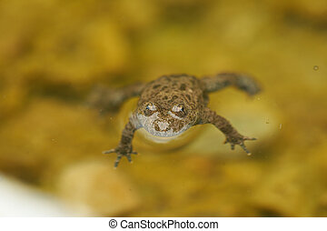 Yellow Bellied Toad Bombina Variegata Portrait Golden Eyes with Black Heart