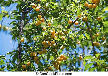 Yellow berries of cherry plum