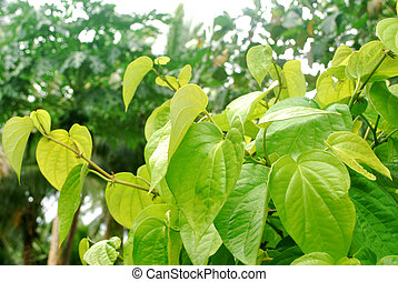 Yellow betel. - Tropical yellow betel leaves are planted in ...