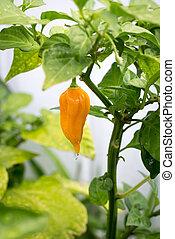 Yellow bhut jolokia hot pepper an interspecific hybrid chili...