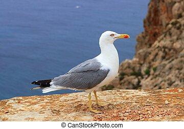 Yellow bill seagull posing in rocky sea mountain ...