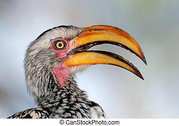 Yellow-billed hornbill - Portrait of a yellow-billed...