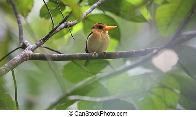 Yellow-billed Kingfisher (Syma torotoro) in Papua New Guinea