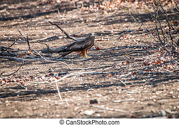 Yellow-billed kite eating a snake.