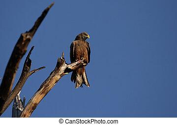 Yellow-billed Kite (Milvus aegyptius) sitting on a dead tree in the Okavango Delta, Botswana