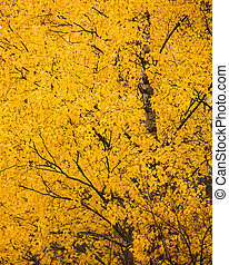 Yellow birch foliage at autumn
