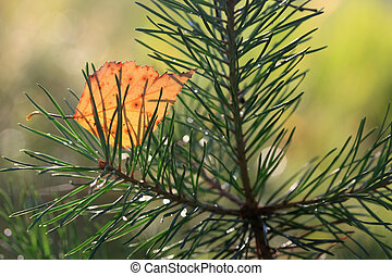 Yellow birch leaf on the branch of pine