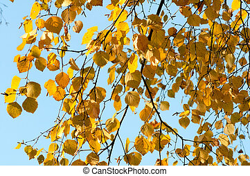 yellow birch leaves against clear blue sky on a sunny day in the fall