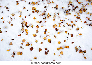 Yellow birch leaves in the snow