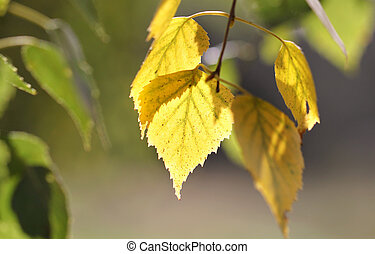 Yellow birch leaves on a green background