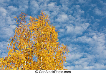 Yellow birch tree against cirrocumulus clouds sky