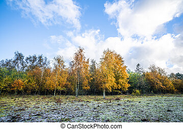 Yellow birch trees in autumn colors in the fall