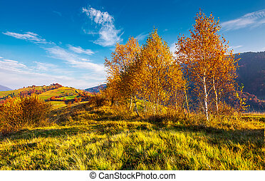 yellow birch trees in mountains at sunrise. beautiful...