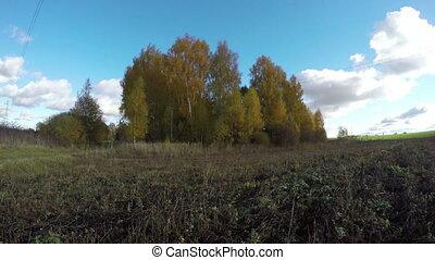Yellow birch trees in the fields - Yellow birch trees...