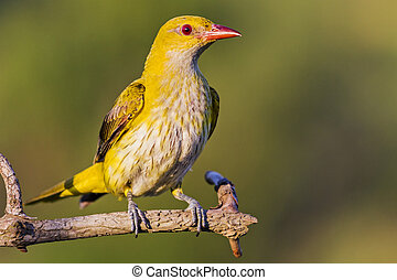 yellow bird oriole sits on a branch