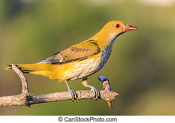 yellow bird with a red beak, oriole