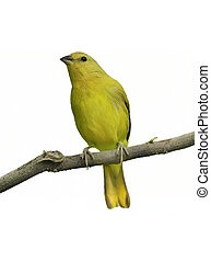 Yellow Canary On White Background