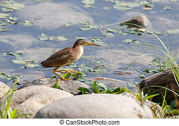 Yellow Bittern bird - A yellow bittern Ready to prey - at a ...