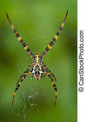 Yellow-black Argiope spider in its web. Bottom view