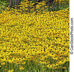 yellow black-eyed Susans