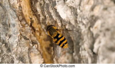 Yellow-black hoverfly close-up - Eristalis Tenax...