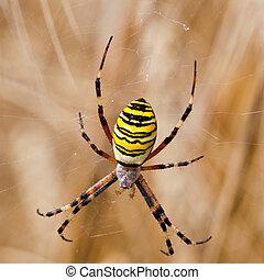 yellow-black, jej, spiderweb, pająk