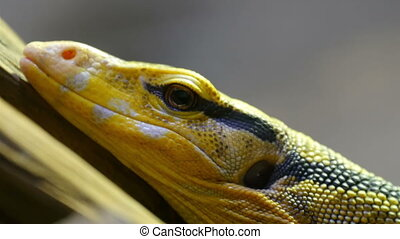 Yellow black spotted lizard on a tree branch. With its eyes open it is closely looking for its surroundings