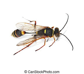 yellow black wasp isolated on white